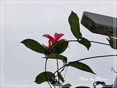 拈花惹草:飄香藤