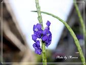 拈花惹草:長穗花