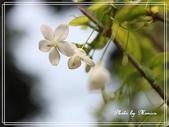 拈花惹草:香水梅