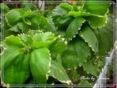 拈花惹草:鑲邊旋葉鐵莧