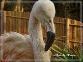 寵物當家:智利紅鶴