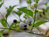 蔬果物語:龍葵