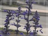 拈花惹草:鼠尾草