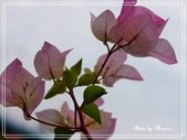 拈花惹草:九重葛