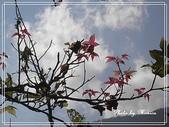 拈花惹草:青楓