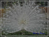 寵物當家:白孔雀