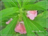 拈花惹草:鳳仙花