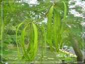 拈花惹草:鳳凰木