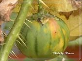 拈花惹草:黃水茄