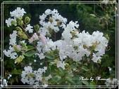 拈花惹草:九芎花