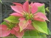 拈花惹草:冰火聖誕紅