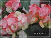 拈花惹草:麗挌海棠