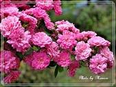 拈花惹草:薔薇