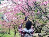 悠遊台北:天元宮櫻花季 2019