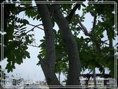 拈花惹草:黃槐