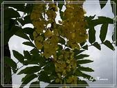 拈花惹草:黃金雨