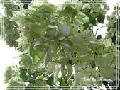 拈花惹草:雪萼花