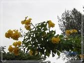拈花惹草:黃鐘花