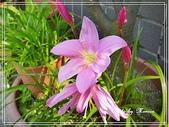 拈花惹草:韭蘭
