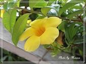 拈花惹草:黃蟬