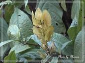 拈花惹草:黃苞小蝦花