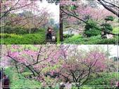 悠遊台北:天元宮櫻花季 201