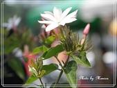 拈花惹草:羽衣茉莉
