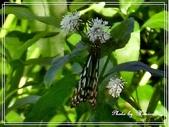 拈花惹草:光葉水菊