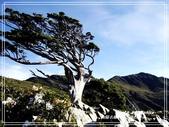 樂山樂水:向陽名樹。玉山圓柏