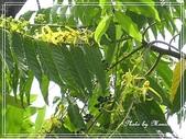 拈花惹草:香水樹