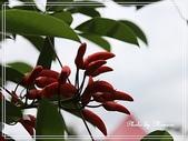 拈花惹草:雞冠刺桐